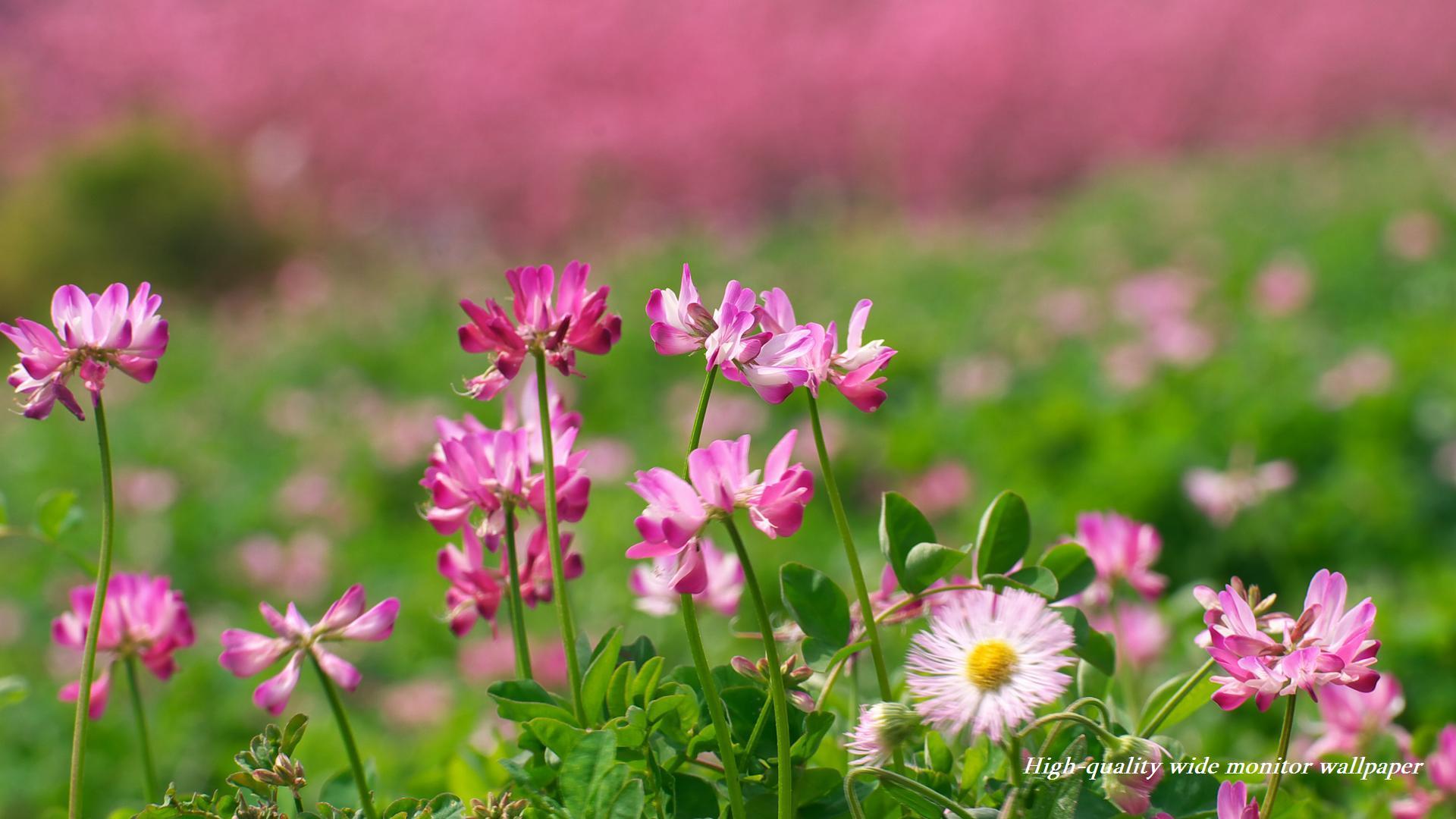 蓮華草 レンゲソウ をモチーフにしましたワイドモニター専門高画質壁紙 アスペクト比16 9 19 1080 春の風景 自然風景 花 景色